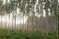 Stimmung im Birkenwald nach Gewitterregen